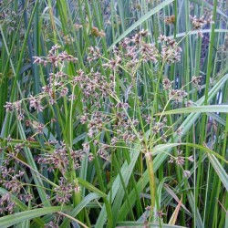 small-fruited-bulrush
